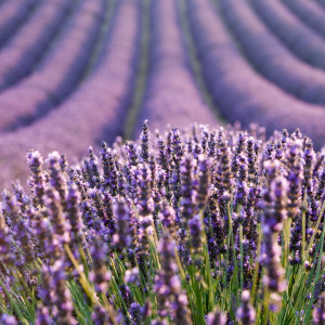 Lavandin Burnati Super (Lavandula burnatii) Essential Oil