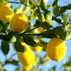 Lemon Zest Italy (Citrus limonum) Essential Oil