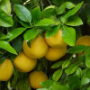 Grapefruit White Distilled (Citrus paradisii) Essential Oil
