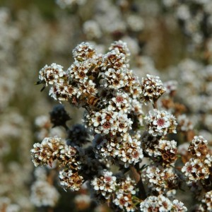 Fragonia (Agonis fragrans) Essential Oil