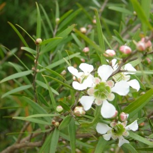 Lemon-scented Teatree (Leptospermum petersonii) Essential Oil