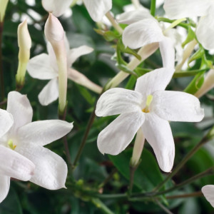 Jasmin (Jasminum grandiflorum) absolue