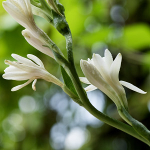 Tubéreuse (Polianthes tuberosa) absolue